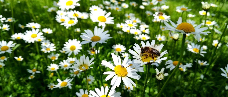 Margeritenwiese mit Insekten